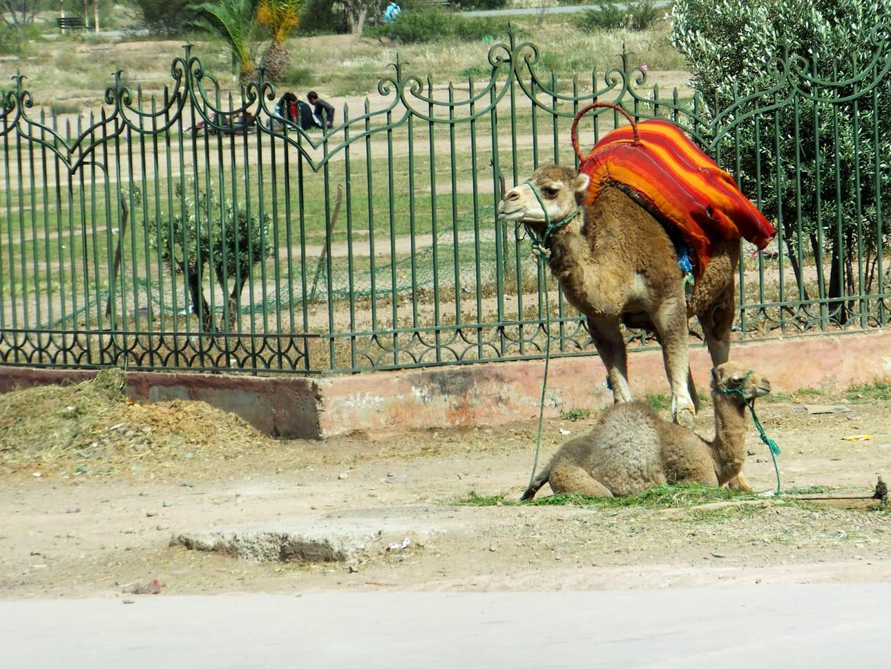 Dromedarios en Marrakech