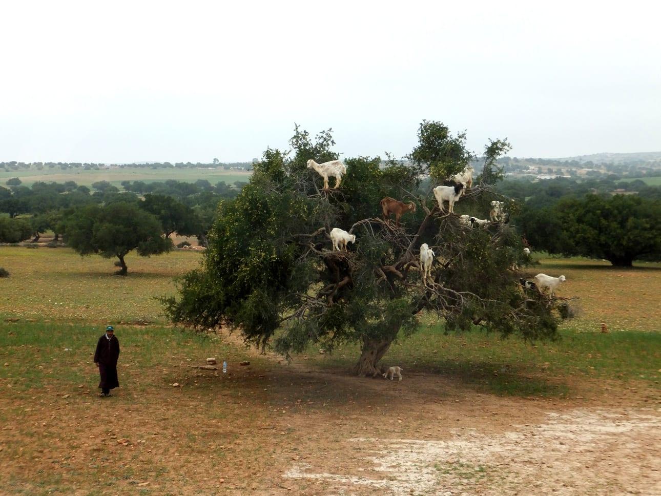 Árbol de Argán Marruecos